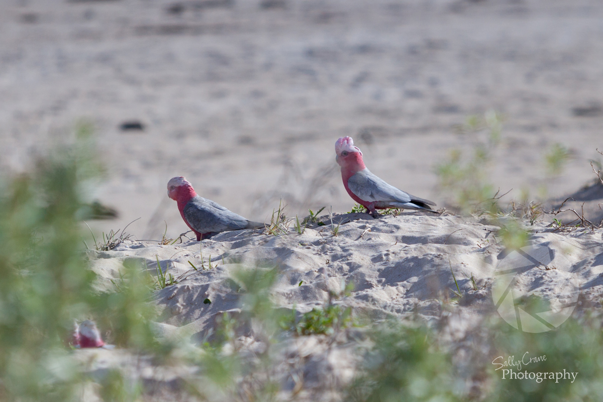 travel-photographer-galah-birds-on-beach