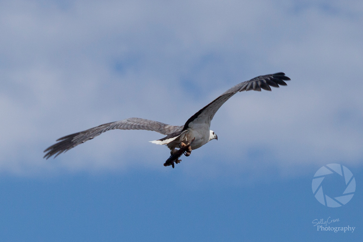 travel-photographer-sea-eagle-australia