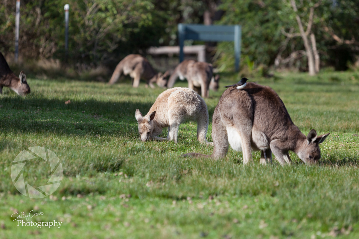 travel-photographer-pretty-beach-kangaroos