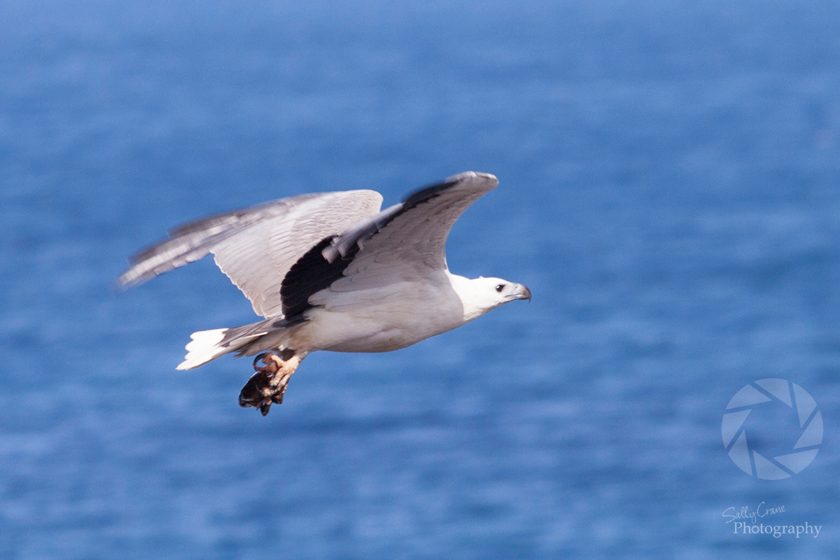 travel-photographer-sea-eagle-with-fish