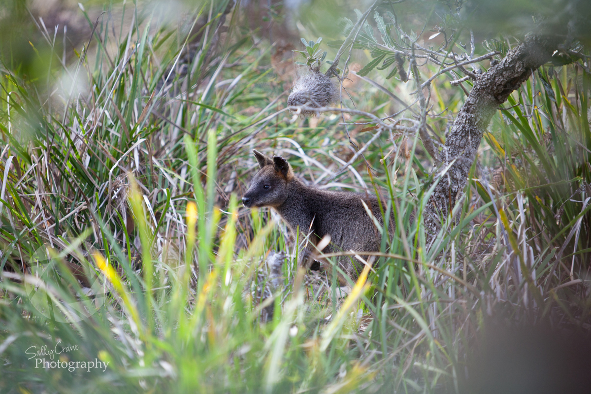 travel-photographer-wallaby